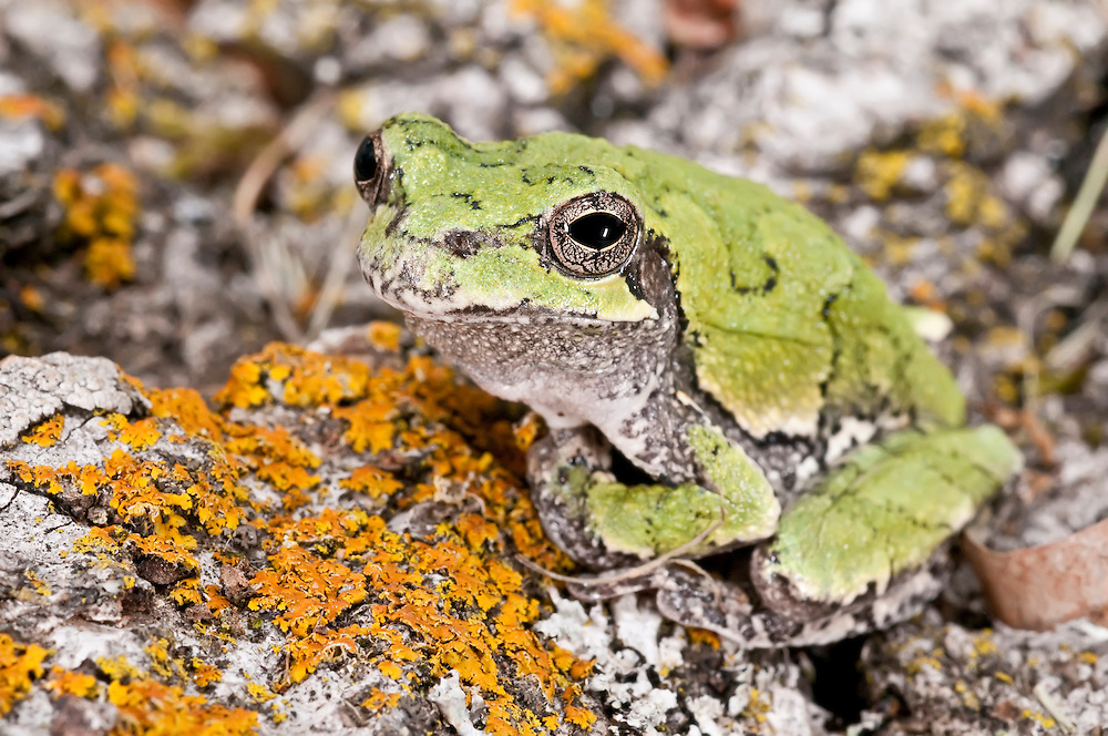 Cope's grey tree frog, Hyla chrysoscelis, native the to United States