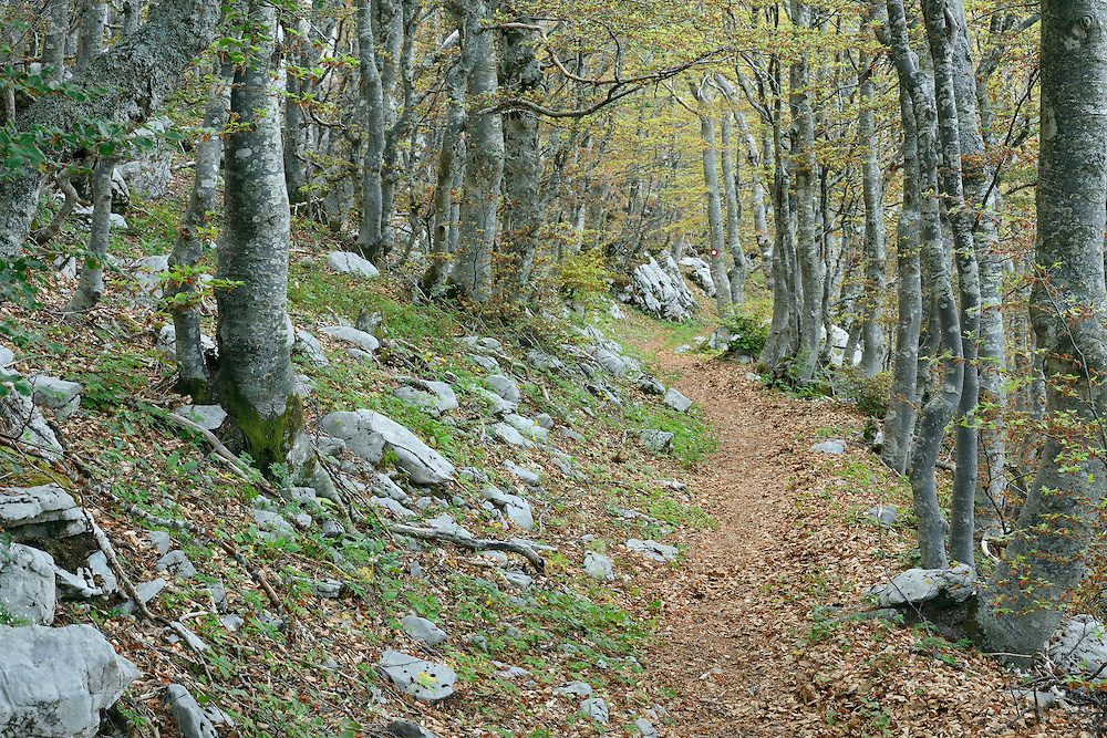 Common Hornbeam, Carpinus betulus, and Beech trees, Fagus silvatica, North Velebit National Park,  Velebit Nature Park, Rewilding Europe rewilding area, Velebit  mountains, Croatia