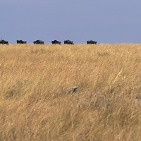 Kenya, Masai Mara Game Reserve, Herd of Wildebeest  (Connochaetes taurinus) crossing savanna in Serengeti migration
