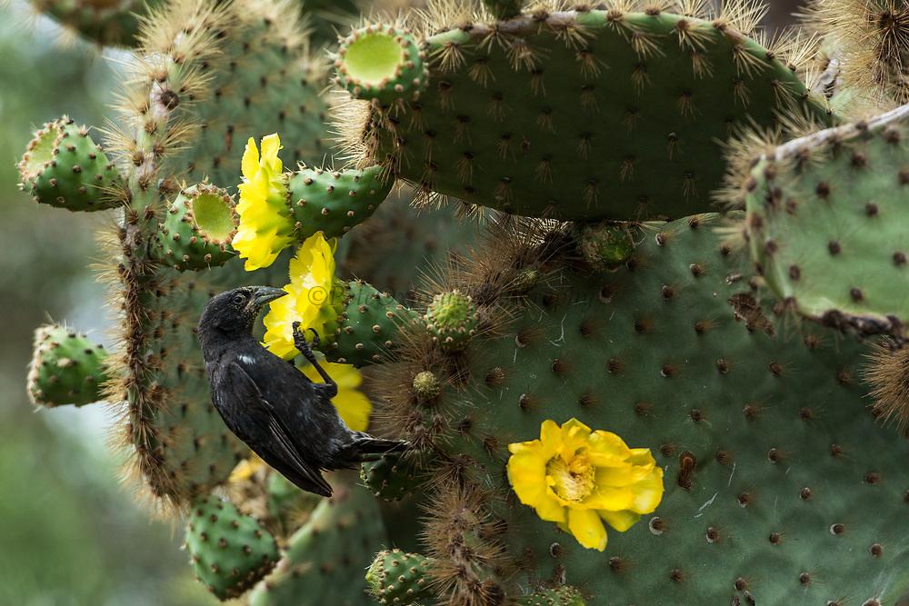 Cactus finch (Geospiza scandens)<br /> Santa Cruz Island<br /> Galapagos<br /> Ecuador,  South America