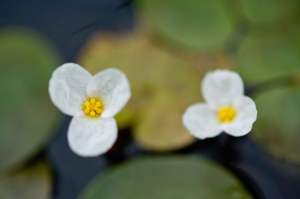 Common frogbit (Hydrocharis morsus-ranae)in a lake of Hortobagy National Park, Hungary