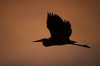 Great Blue Heron Silhouette at Dawn in Merritt Island Wildlife Refuge. Image taken with a D3s and 200-400 mm f/4 VR lens (ISO 200, 400 mm, f/4, 1/1250 sec).