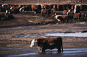 The Harris Ranch cattle feed lot, the Harris Feeding Company, in Coalinga, California. California's largest feed lot with up to 100,000 head of cattle. A feedlot steer stands knee deep in a pool of liquid cattle manure after a rain. Coalinga, California. San Joaquin Valley. USA [[From the company: THE HARRIS FARMS GROUP OF COMPANIES. Harris Farms, Inc. is one of the nation's largest, vertically integrated family owned agribusinesses]].