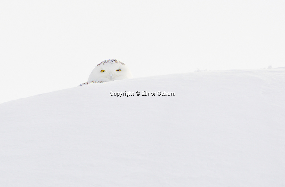 Snowy Owl on
