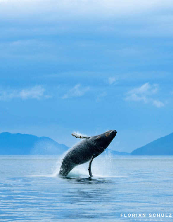Humpback whale is breaching in the waters of Icy Strait in Southeast Alaska, USA