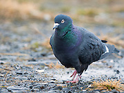 "This is a domestic pigeon. The Rock Pigeon (Columba livia), or Rock Dove, is a member of the bird family Columbidae (doves and pigeons). In common usage, this bird is often simply referred to as the ""pigeon"". The species includes the domestic pigeon (including the fancy pigeon), and escaped domestic pigeons have given rise to feral populations around the world."