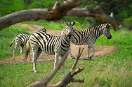 KLASERIE PRIVATE GAME RESERVE, SOUTH AFRICA, DECEMBER 2004. Zebras graze in the bush. Wildlife guide Gary Freeman takes people on walking safaris in the bush. Photo by Frits Meyst/Adventure4ever.com