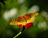 Great Spangled Fritillary Butterfly on a Mexican Sunflower. Image taken with a Fuji X-T2 camera and 100-400 mm OIS lens (ISO 200, 400 mm, f/5.6, 1/800 sec).