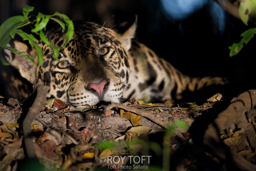 Close-up portrait of a wild Jaguar (Panthera onca), Brazil