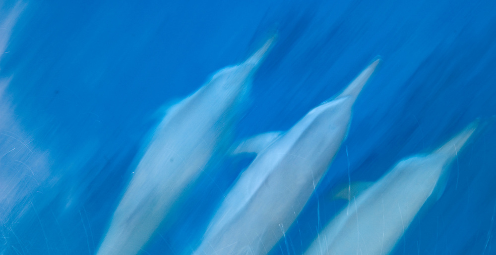 dolphines swimming and playing in water