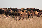 Roaming herd of bison in Missouri prairie grasslands