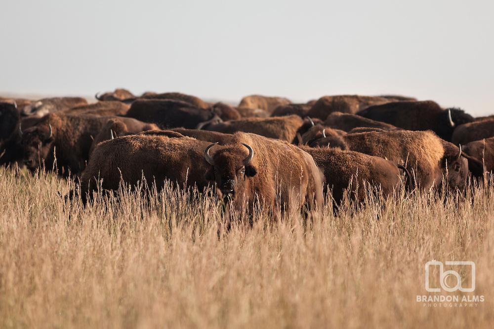 Roaming herd of bison in Missouri prairie grasslands