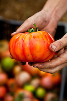 Fresh heirloom tomato at Willowood Farm on Whidbey Island, Washington