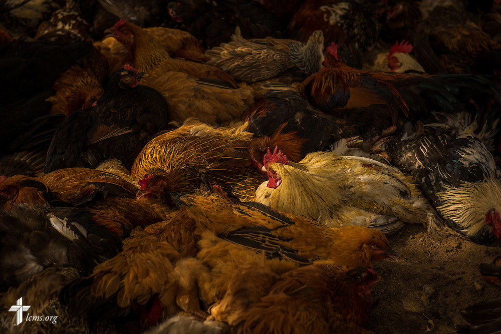 Roosters and hens for sale at a marketplace in Chepareria, Kenya, near the U-Dom ELCK (Evangelical Lutheran Church in Kenya) Project 24 site on Thursday, June 23, 2016. LCMS Communications/Erik M. Lunsford