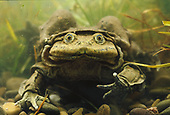 Titicaca frog