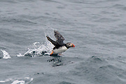 Atlantic Puffin -  Fratercula arctica taking off from the water to fly