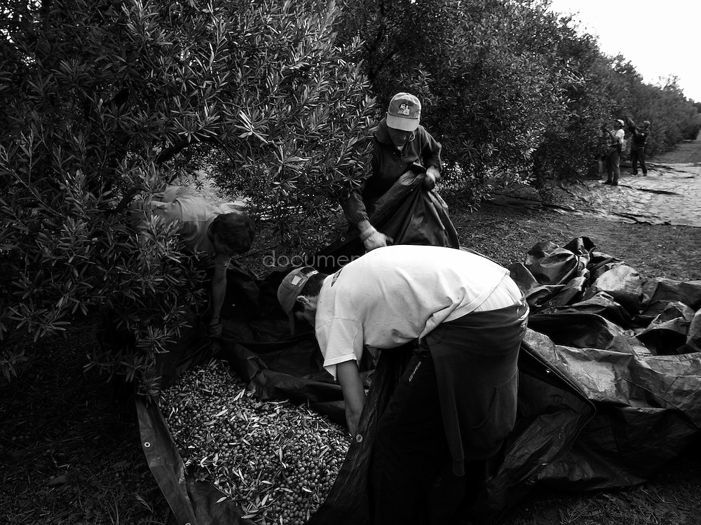 Workers picking up a groundsheet full of olives into the back of the tractor, Domaine du Jasson, La Londe Les Maures, France.