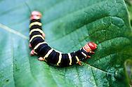 Las orugas son la forma larval de los miembros del orden Lepidoptera (el orden que comprende las mariposas y polillas). En su mayoría son herbívoros en los hábitos alimentarios, aunque algunas especies son insectívoras. Las orugas son alimentadores voraces y muchos de ellos son considerados como plagas en la agricultura. Muchas especies de polillas son más conocidos en su etapa de oruga, debido a los daños que causan a las frutas y otros productos agrícolas. <br /> <br /> Se denomina oruga a la larva de los insectos del orden Lepidoptera (incluye las mariposas diurnas y nocturnas). Las orugas son típicamente blandas y cilíndricas y a menudo poseen vistosos colores, que usualmente advierten de su toxicidad o desagradable sabor.<br /> <br /> El cuerpo de las orugas es largo y dividido en segmentos. Tienen seis patas, más cinco pares de falsas patas, pseudopatas o propodios (espuripedios en Lepidoptera) en los segmentos del abdomen (en ocasiones el último par puede faltar)<br /> <br /> ©Alejandro Balaguer/Fundación Albatros Media.