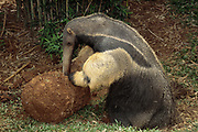 Giant Anteater feeding on Termite Mound<br />Myrmecophaga tridactyla<br />BRAZIL.  South America<br />Range: Savanahs of Central and South America