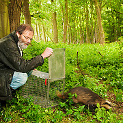 Prof David MacDonald releasing badger. Wytham woods.