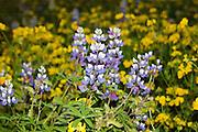 Broadleaf Lupine (Lupinus latifolius) and Birdsfoot Trefoil (Lotus corniculatus), Mt. St. Helens National Volcanic Monument, Washington, US
