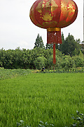 Rice paddy with a red lantern in foreground.