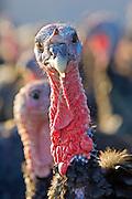 Free-range Norfolk bronze turkey at Sheepdrove Organic Farm , Lambourn, England