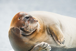 Bearded seal (Erignathus barbatus) in Svalbard, Norway