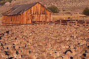 Sheep roundup at dawn. Near Mono Lake, California. Route 395: Eastern Sierra Nevada Mountains of California.