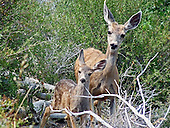 Mule Deer / Odocoileus hemionus