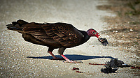 Turkey Vulture Having Brunch. Biolab Road, Merritt Island National Wildlife Refuge. Image taken with a Nikon D4 camera and 500 mm f/4 VR lens (ISO 640, 500 mm, f/9, 1/4000 sec).