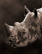 A closeup shot of a Black Rhinoceros (Diceros bicornis). This critically endangered animal is native to eatern and central Africa including Kenya, Tanzania, Cameroon, South Africa, Nambia, Zimbabwe, and Angola.