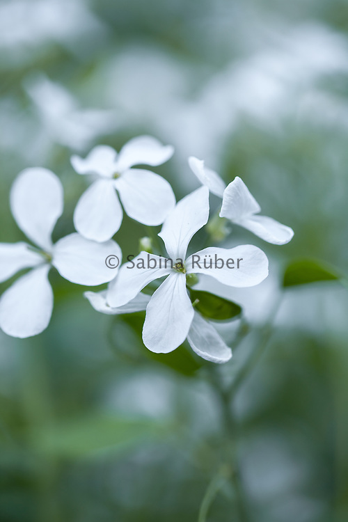 Lunaria annua var. alba - white-flowered honesty