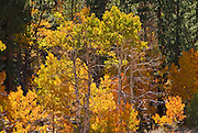 Fall aspens in Lundy Canyon, Toiyabe National Forest, Sierra Nevada Mountains, California