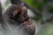 Philippine tarsier, Tarsius syrichta, Carlito syrichta