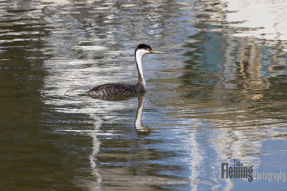 Western grebe swimming in harbor near Moss Landing, California