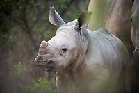 White Rhino Calf, Marataba Private Game Reserve, Limpopo, South Africa
