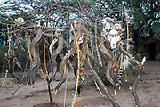 Skulls of baboon and antelope hanging on tree near huts of hunter gatherer Hadza tribe. Lake Eyasi,Tanzania