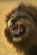 Lion snarling (Panthera leo)<br /> Mombo area. Chief's Island.<br /> Okavango Delta. BOTSWANA. Southern Africa.