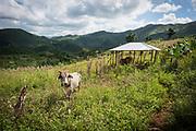 Haïti, Département de la Grand'Anse. À la suite du passage de l'ouragan Matthew en octobre 2016, plus de 4000 agriculteurs et agricultrices, ont bénéficié de la distribution de plusieurs variétés de semences agricoles, afin de permettre la reprise de l'activité agricole dans cette région considérée comme le grenier d'Haïti. Dans la commune de Beaumont, ces agriculteurs ont reçu des plants d'igname en juillet 2017, qu'ils cultivent dans un jardin communautaire bénéficiant à 30 familles.