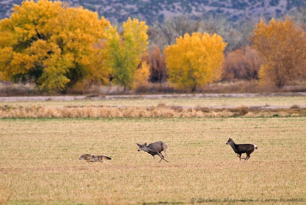Mule Deer [Odocoileus hemionus] doe chasing Coyote [Canis latrans]; Bosque del Apache NWR., New Mexico