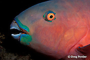 Indian Ocean steephead parrotfish, Chlorurus strongylocephalus, female asleep at night, Similan Islands,<br /> Thailand ( Andaman Sea - Indian Ocean )