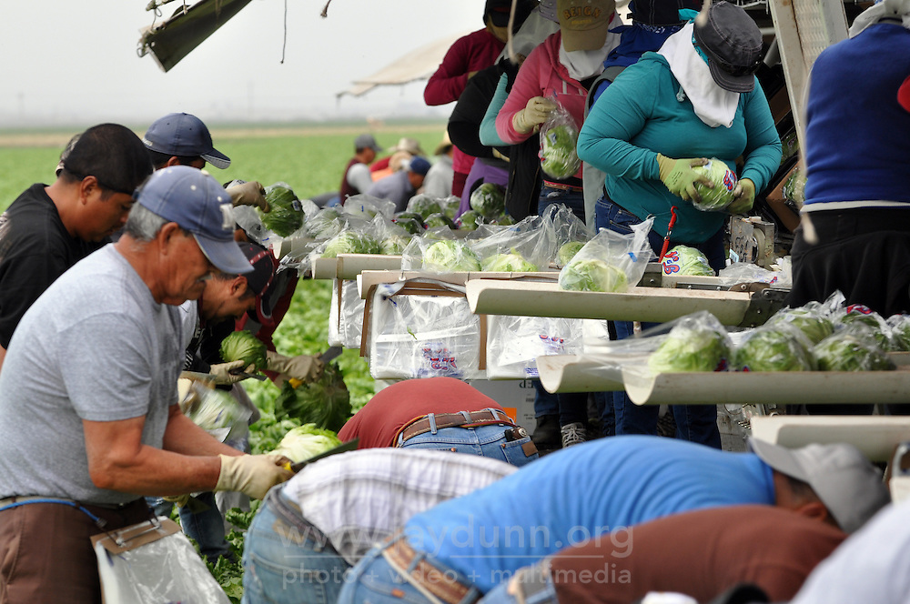 Agricultural laborers harvest lettuce in a Castroville field. Labor of Love, an Arizona-based nonprofit, treated this Tanimura & Antle crew to a surprise breakfast on Thursday morning, May 19th.