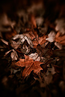 A thick carpet of crunchy autumn maple leaves.