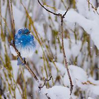 Mountain bluebird, Taylor Fork drainage, Montana. GYE.