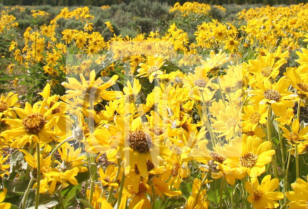 Yellow wildflowers wyoming cnc images wildflowersbr wyoming mightylinksfo