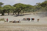 Herding Cattle in Abijatta-Shalla National Park, Ethiopia