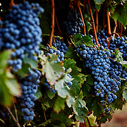 Bloomfield Vineyard Harvest