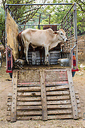 06 APRIL 2013 - SANPATONG, CHIANG MAI, THAILAND:  Cattle in the back of a pickup truck in the market in Sanpatong, Chiang Mai province, Thailand. The buffalo market in Sanpatong (also spelled San Patong) started as a weekly gathering of farmers and traders buying and selling water buffalo, the iconic beast of burden in Southeast Asia, more than 60 years ago and has grown into one of the largest weekend markets in northern Thailand. Buffalo and cattle are still a main focus of the market, but traders also buy and sell fighting cocks, food, clothes, home brew and patent medicines.     PHOTO BY JACK KURTZ