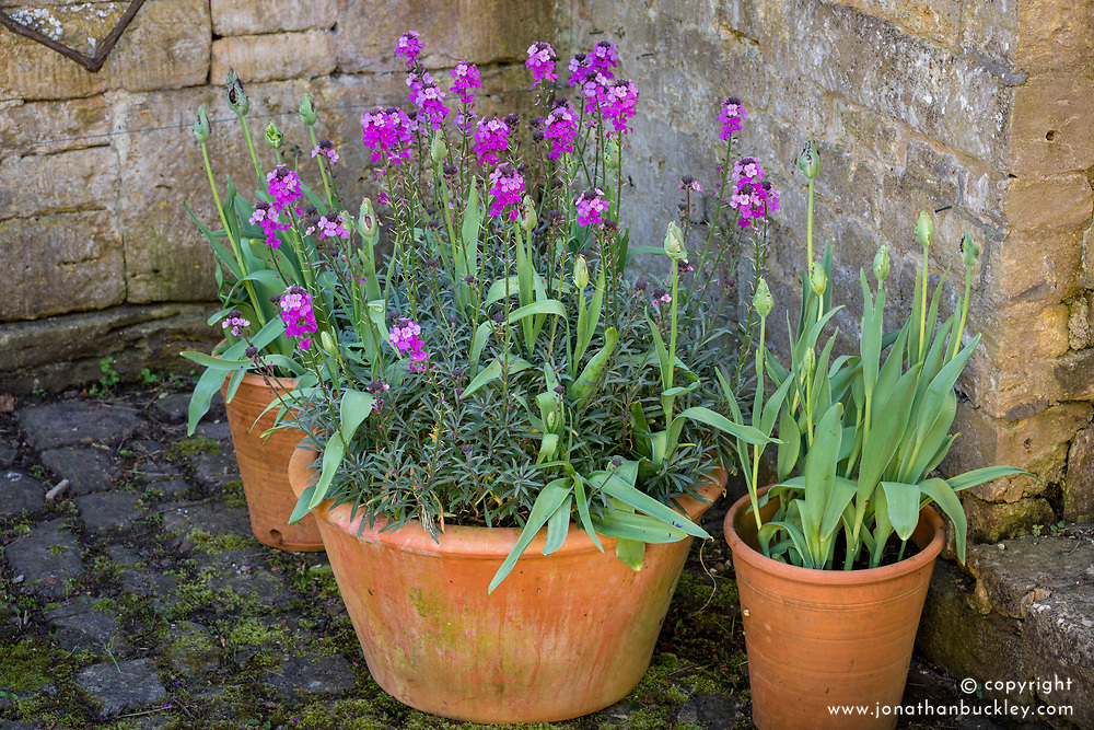 Erysimum 'Bowles's Mauve' AGM syn. Erysimum linifolium glaucum, E. linifolium 'Bowles' Mauve' growing in a pot with Tulipa 'Black Parrot'. Wallflower and tulip.